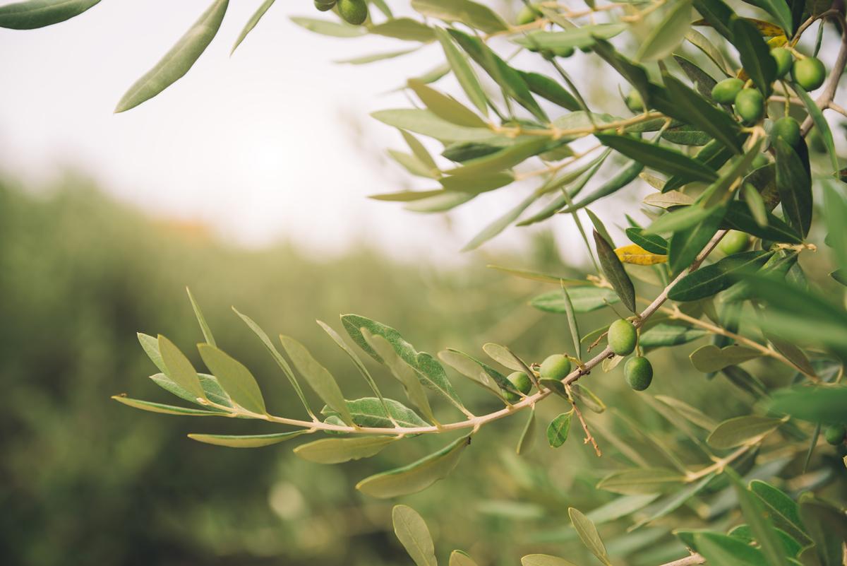 Estratti olivo antiossidante